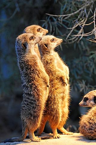 Group of young Meerkats or Suricates (Suricata suricatta), Stuttgart, Baden-Wuerttemberg, Germany, Europe