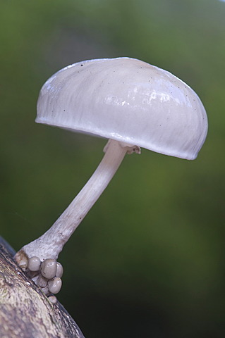 Porcelain mushroom (Oudemansiella mucida), Tinner Loh nature reserve, Haren, Emsland, Lower Saxony, Germany, Europe