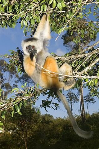 Diademed Sifaka (Propithecus diadema) hanging in a tree, Endangered, IUCN 2008, Perinet Nature Reserve, Madagascar, Africa
