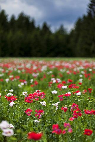Field of poppies, Ottenschlag, Waldviertel region, Lower Austria, Austria, Europe