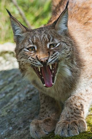 Eurasian Lynx (Lynx lynx), showing teeth and tongue, aggressive behavior, Sweden, Europe