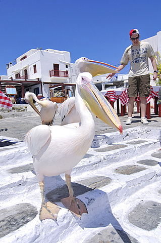 Pelican and tourist in Mykonos, Cyclades, Greece, Europe