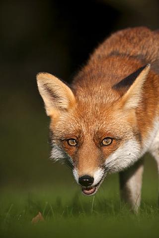 Red fox (Vulpes vulpes), Bitburg, Rhineland-Palatinate, Germany, Europe
