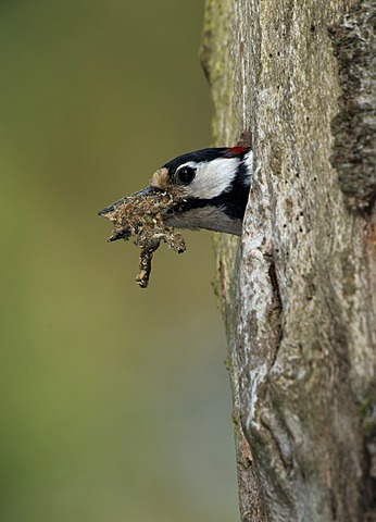 Great Spotted Woodpecker (Dendrocopos major), Bitburg, Rhineland-Palatinate, Germany, Europe