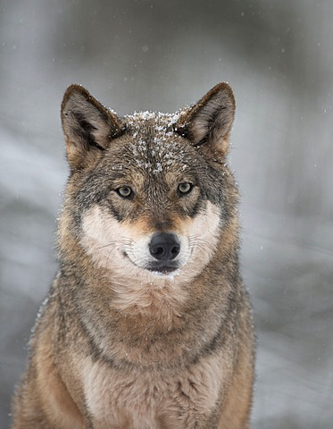 Wolf (Canis lupus) in the snow
