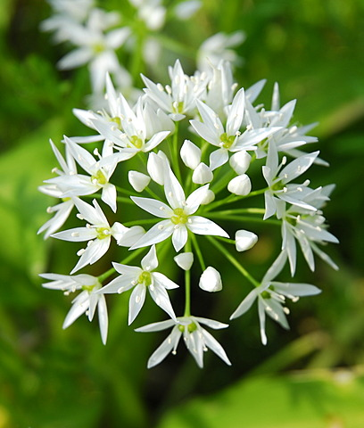 Wild garlic or Ramsons (Allium ursinum), flower