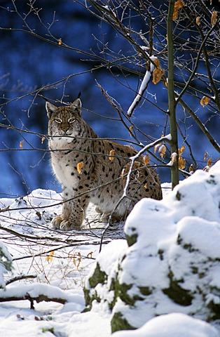 Eurasian Lynx (Lynx lynx), Bavarian Forest, Bavaria, Germany, Europe