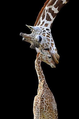 Somali Giraffes or Reticulated Giraffes (Giraffa camelopardalis reticulata), mother and young, 2 weeks old, symbolic image for connection, tender touch