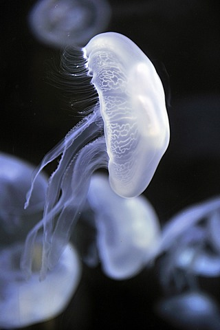 Moon jellyfish (Aurelia aurita), San Francisco, California, USA