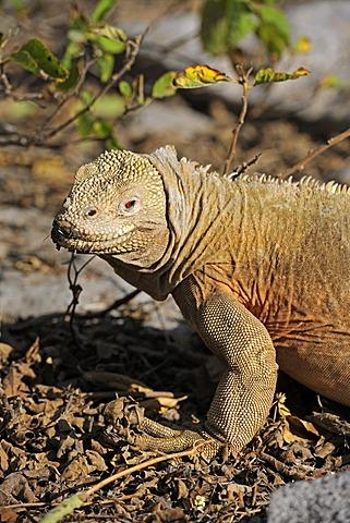 Galapagos Land Iguana (Conolophus subcristatus), subspecies of Santa Fe Island, Isla Santa Fe, Galapagos, UNESCO World Heritage Site, Ecuador, South America