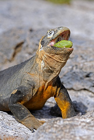 Galapagos Land Iguana (Conolophus subcristatus), feeding on Galapagos prickly pear (Opuntia echios), subspecies of South Plaza Island, Isla Plaza Sur, Galapagos, UNESCO World Heritage Site, Ecuador, South America