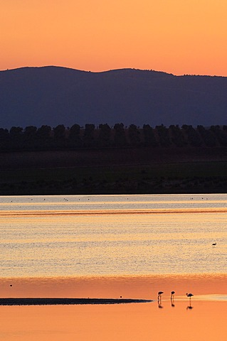 Fuente de Piedra Lagoon at sunset, Greater Flamingos (Phoenicopterus ruber), Málaga province, Andalusia, Spain, Europe