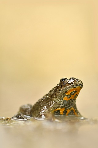 Yellow-bellied toad (Bombina variegata), near Jena, Thuringia, Germany, Europe