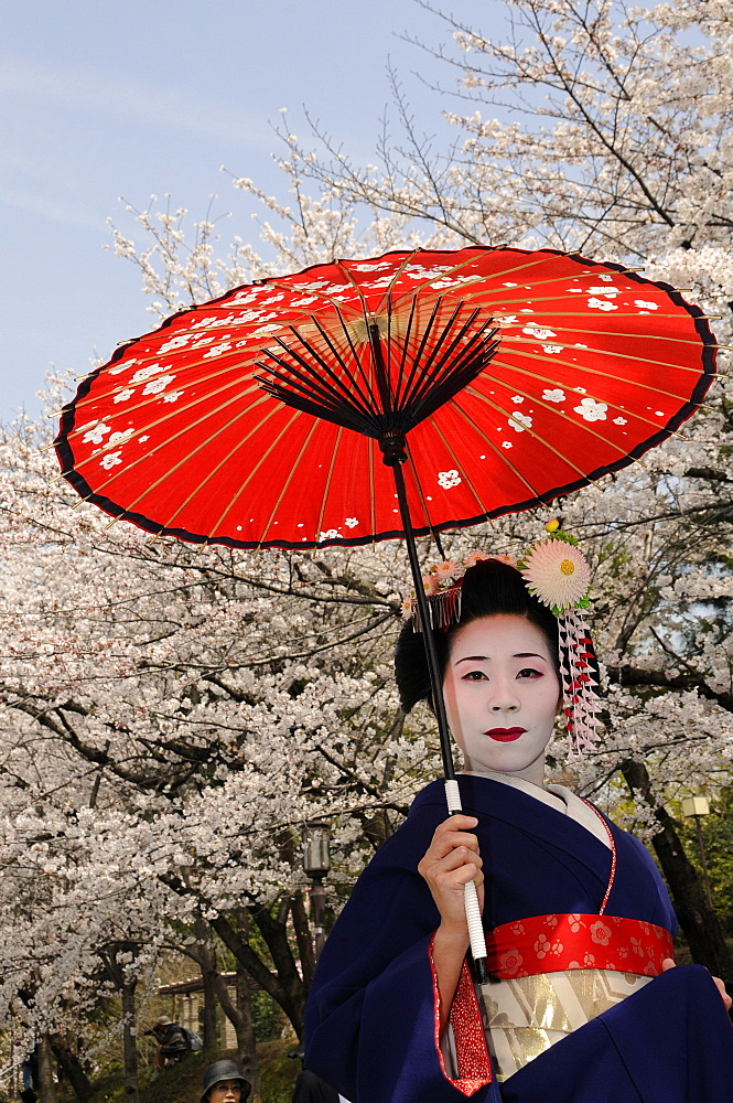 A Maiko, a trainee Geisha, carrying a red sun parasol or umbrella in front of cherry tree sin bloom, Kyoto, Japan, Asia