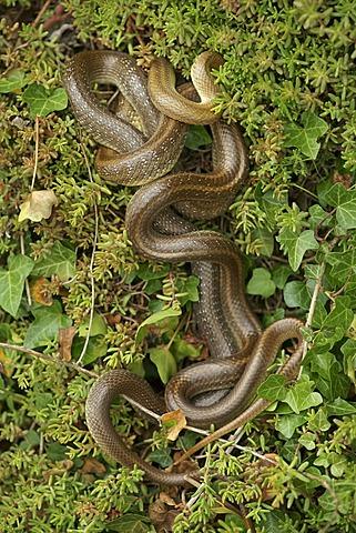 Aesculapian Snake (Zamenis longissimus, Elaphe longissima), mating