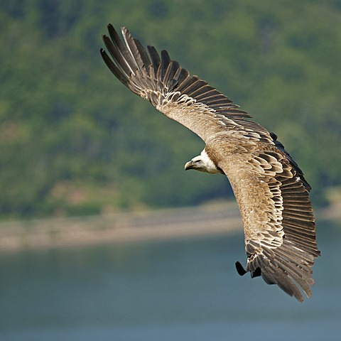 Griffon vulture (Gyps fulvus), captive