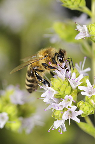 European honey bee or western honey bee (Apis mellifera) on flowering marjoram (Origanum majorana), Germany, Europe