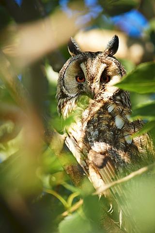 Long-eared Owl (Asio otus), Apetlon, Burgenland, Austria, Europe