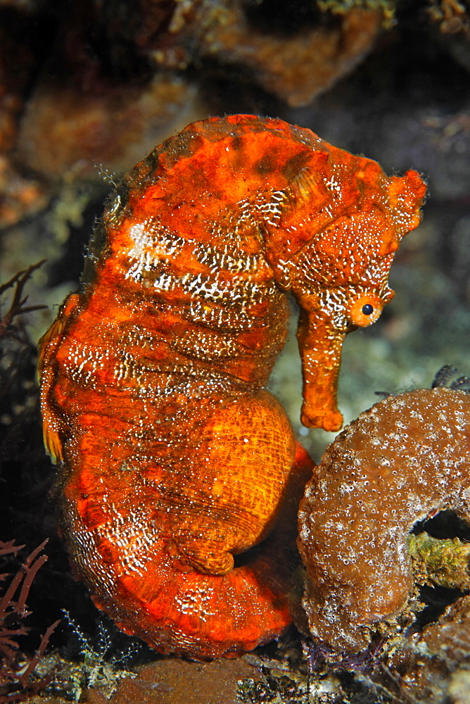 Pacific seahorse (Hippocampus ingens) and a small sponge, Ponta de Sao Vicente, Isabella Island, Albemarle, Galapagos Islands, a UNESCO World Natural Heritage Site, Ecuador, Pacific Ocean