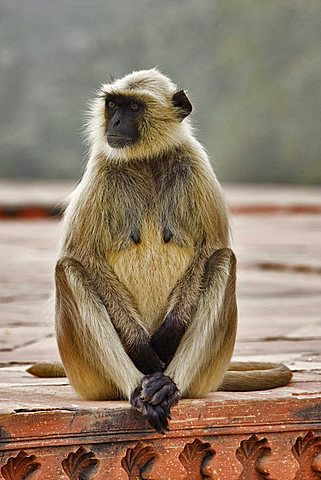 Northern Plains Gray Langur (Semnopithecus entellus), North India, India, Asia