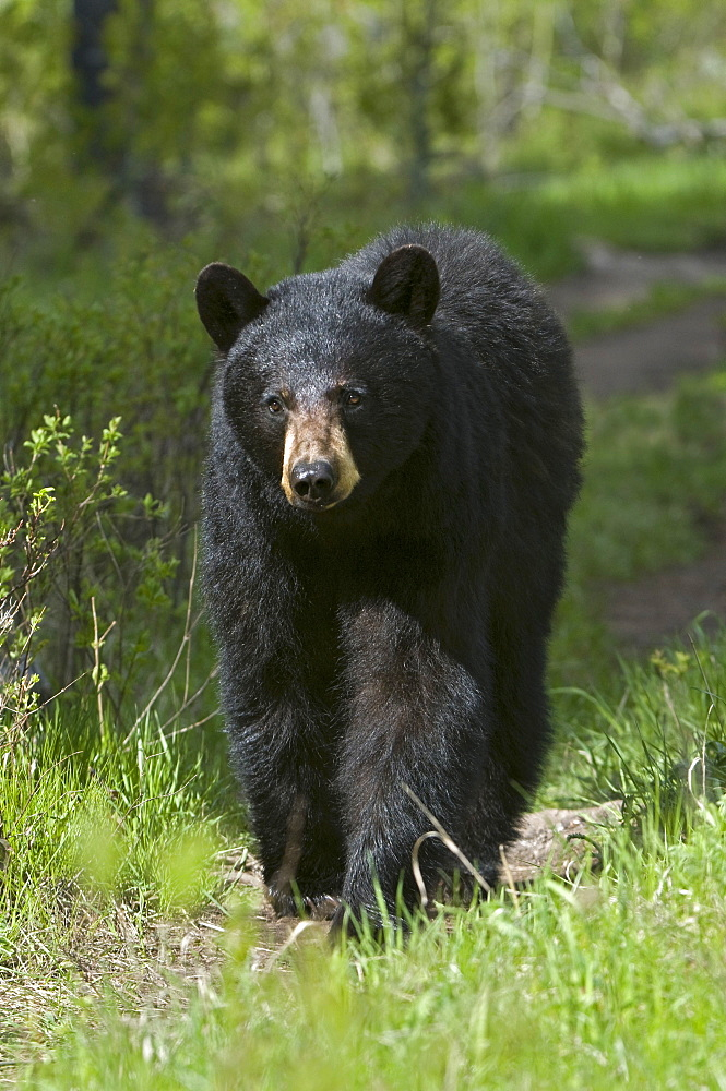 American black bear (Ursus americanus), Yellowstone National Park, Wyoming, USA, North America