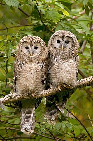 Ural Owl (Strix uralensis), juvenile birds, Bavarian Forest National Park, Bavaria, Germany, Europe