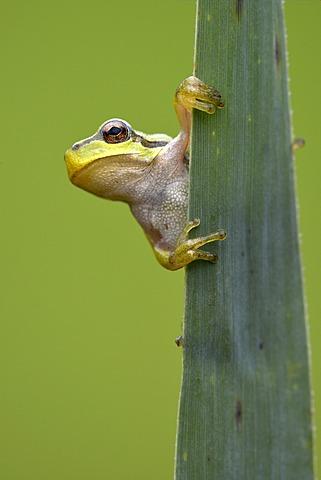 European Tree Frog (Hyla arborea), Loar, Kramsach, Tyrol, Austria, Europe