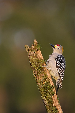 Golden-fronted Woodpecker (Melanerpes aurifrons), male perched, Dinero, Lake Corpus Christi, South Texas, USA