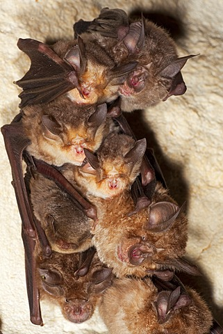 Greater Horseshoe Bat (Rhinolophus ferrumequinum), Meheley's Horseshoe Bat (Rhinolophus mehelyi) and Common Bent-wing Bat, Schreiber's Long-Fingered Bat or Schreiber's Bat (Miniopterus schreibersii) in cave in Sardinia, Italy, Europe