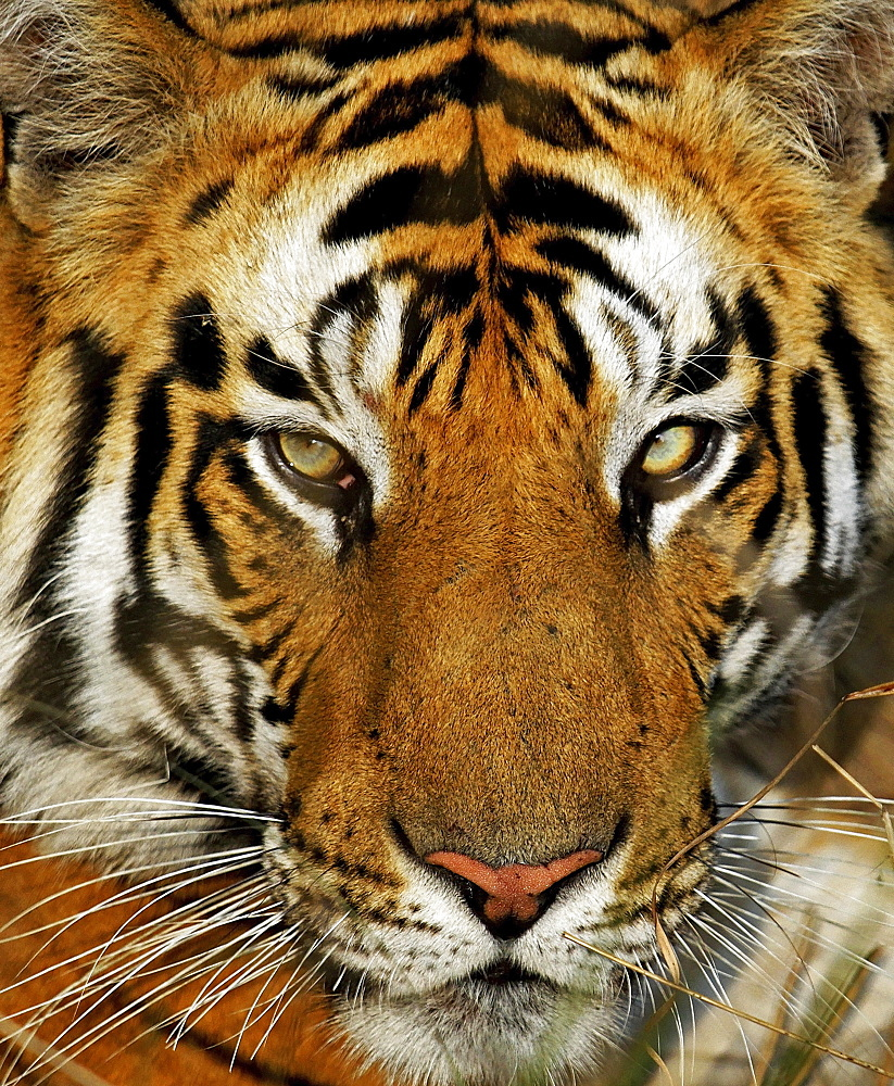 Tiger (Panthera tigris), portrait, Bandhavgarh National Park, Madhya Pradesh, India, Asia