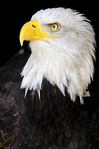 Bald Eagle (Haliaeetus leucocephalus), portrait