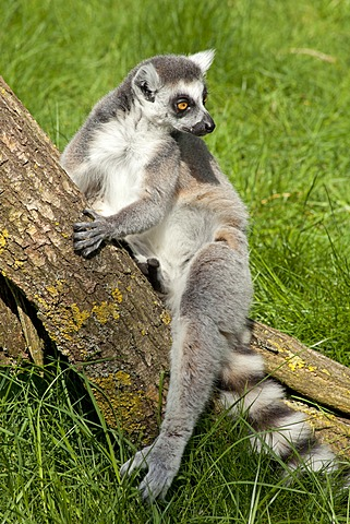 Ring-tailed lemur (Lemur catta), Serengeti Park zoo and leisure park, Hodenhagen, Lower Saxony, Germany, Europe