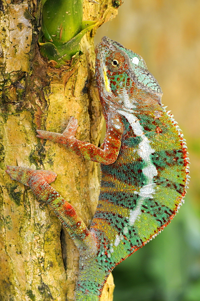 Panther Chameleons (Furcifer pardalis), male, climbing a tree trunk, Madagascar, Africa