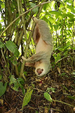 Hoffmann's two-toed sloth (Choloepus hoffmanni), hanging upside down in a tree, La Fortuna, Costa Rica, Central America - 832-373550