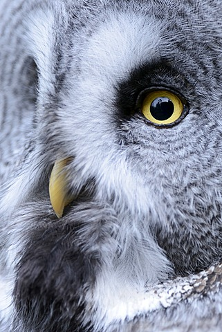 Great Grey Owl (Strix nebulosa), portrait, Arth Goldau, Switzerland, Europe