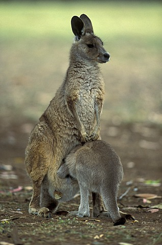 Eastern Grey Kangaroo (Macropus giganteus), adult female and joey, Australia