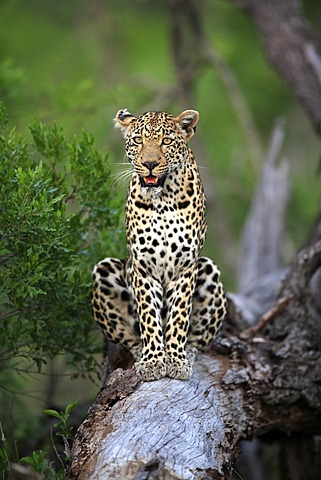 Leopard (Panthera pardus), adult on tree, Sabisabi Private Game Reserve, Kruger National Park, South Africa, Africa