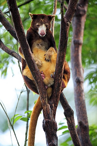 Goodfellow's Tree Kangaroo or Ornate Tree Kangaroo (Dendrolagus goodfellowi), adult in a tree, Australia