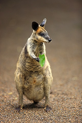Pretty-faced Wallaby or Whiptail Wallaby (Macropus parryi), adult eating, Lamington National Park, Queensland, Australia