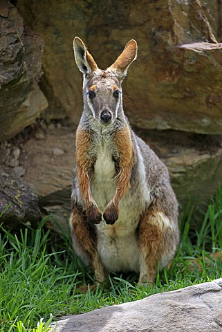 Yellow-footed Rock-wallaby (Petrogale xanthopus), adult, Australia