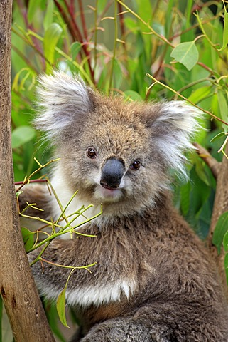 Koala (Phascolarctos cinereus), portrait, adult in tree feeding on Eucalyptus, Australia
