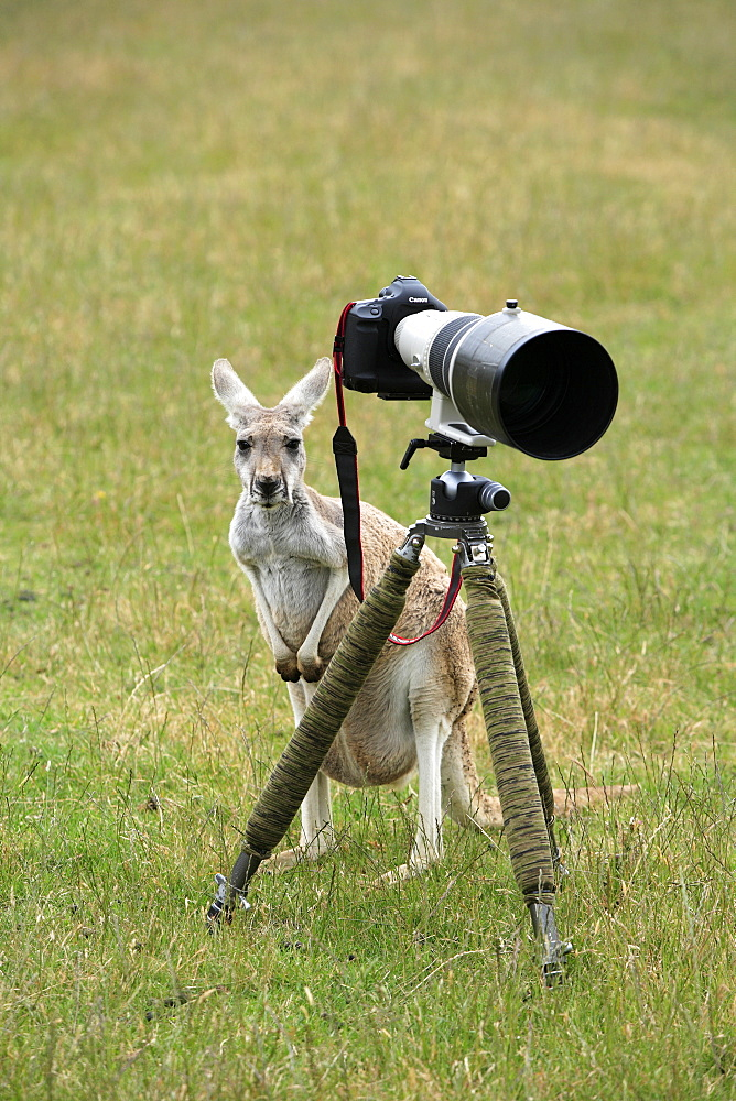 Eastern Grey Kangaroo (Macropus giganteus), adult examining a camera on a tripod, Australia