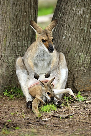 Agile Wallaby or Sandy Wallaby (Macropus agilis), mother with a joey in her pouch, Australia