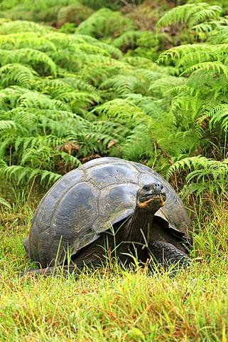 Galápagos tortoise or Galápagos giant tortoise (Geochelone nigra), adult feeding, Galapagos Islands, Pacific Ocean