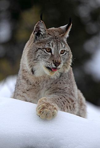 Eurasian lynx (Lynx lynx), adult, portrait, snow, winter, Montana, USA