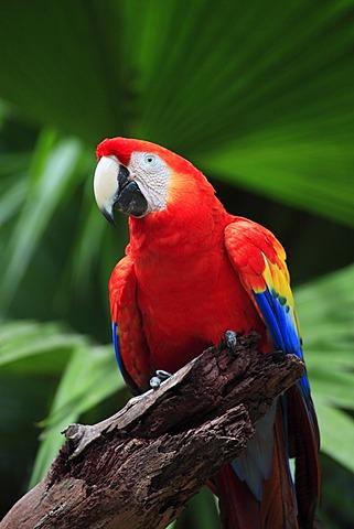 Scarlet Macaw (Ara macao), adult, perched, Roatan, Honduras, Caribbean, Central America, Latin America