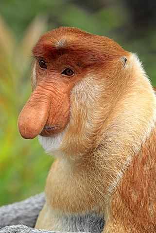 Proboscis Monkey or Long-nosed monkey (Nasalis larvatus), male, portrait, Labuk Bay, Sabah, Borneo, Malaysia, Asia - 832-373821