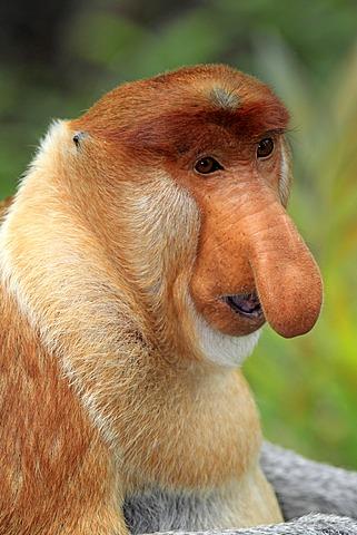Proboscis Monkey or Long-nosed monkey (Nasalis larvatus), male, portrait, Labuk Bay, Sabah, Borneo, Malaysia, Asia - 832-373822
