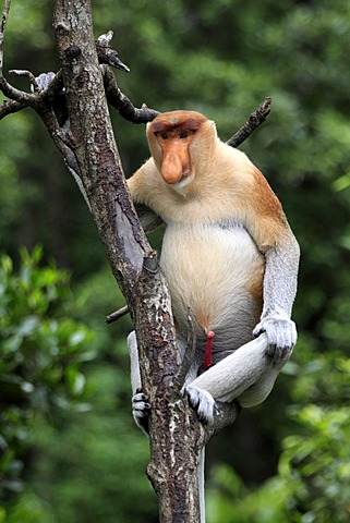 Proboscis Monkey or Long-nosed monkey (Nasalis larvatus), male, on tree, Labuk Bay, Sabah, Borneo, Malaysia, Asia