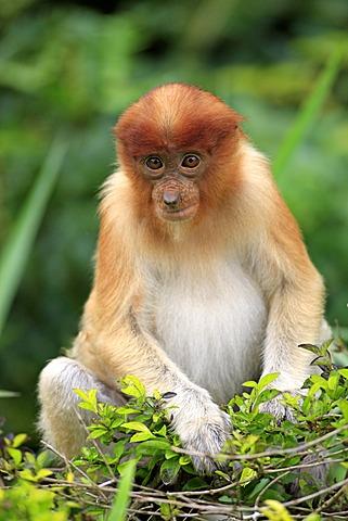 Proboscis Monkey or Long-nosed monkey (Nasalis larvatus), young, Labuk Bay, Sabah, Borneo, Malaysia, Asia